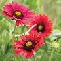 Gaillardia Firewheels Seeds