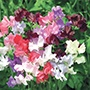 Sweet Pea Showbench 8 Seeds