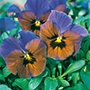 Pansy Mollys Sister Seeds