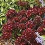 Sweet William Black Adder Seeds