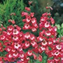 Penstemon Scarlet Queen Seeds