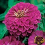 Zinnia Purple Prince Seeds