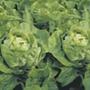 Lettuce-Clarion