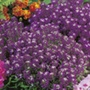 Alyssum Violet Queen