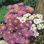 Aster Alpine Mixed