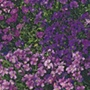 Aubrietia Royal Series