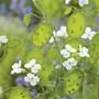 Honesty White-Flowered