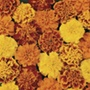 Marigold (French) Bonanza Mixed F1