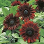 RHS Sunflower Claret F1
