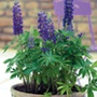 Lupin Mini Gallery Blue