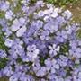 Silene Blue Angel