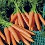 Carrot Volcano F1