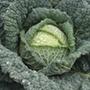 Cabbage Jade F1