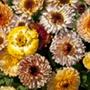 Calendula Playtime Mixed Flower Seeds