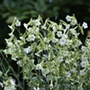 Nicotiana Starlight Dancerhttps://cdn.mr