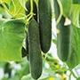 Cucumber Swing F1