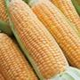 RHS Sweet Corn Prelude F1