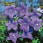RHS Platycodon grandiflora
