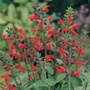 RHS Salvia Lady In Red