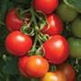 Tomato (Standard) Cocktail Crush F1