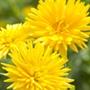 Calendula Porcupine Yellow