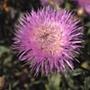 Centaurea Rosy Lilac