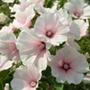Lavatera Dwarf Pink Blush