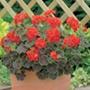 Geranium Black Magic Red F1 Flower Seeds