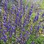 Wildflower Bellflower Seeds