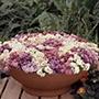 Alyssum Aphrodite Mixed Flower Seeds
