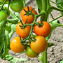 Tomato Merrygold F1 Vegetable Seeds