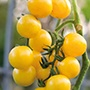 RHS Tomato Gold Nugget Vegetable Seeds