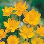 RHS Trollius Golden Queen Flower Seeds