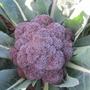 Broccoli (Sprouting) Purple Rain F1