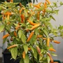 Pepper (Chilli) Mardi Gras Seeds