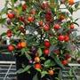 Pepper (Chilli) Odyssey Vegetable Seeds