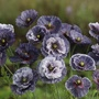 Poppy Amazing Grey Flower Seeds