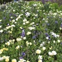 RHS Flowers for Wildlife Cool Mix
