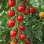 Tomato (Cherry) Consuelo F1 Vegetable Se