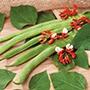 Runner Bean St George Vegetable Seeds