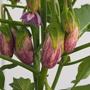 Aubergine Jewel Marble F1 Vegetable Seed