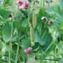 Pea (Snap) Spring Blush Vegetable Seeds