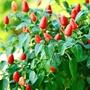 Pepper (Chilli) TZ5576 Vegetable Seeds