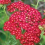 Achillea Red Velvet Plants