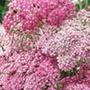 Achillea Appleblossom Plants