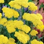 Achillea Moonshine Plants