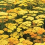 Achillea Terracotta Plants