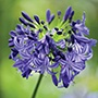 Agapanthus Northern Star Plants