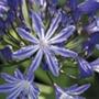 Agapanthus Moonlight Star Plants