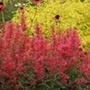 Agastache Kudos Coral Flower Plants